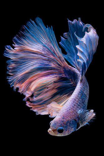 poisson-exotique-violet