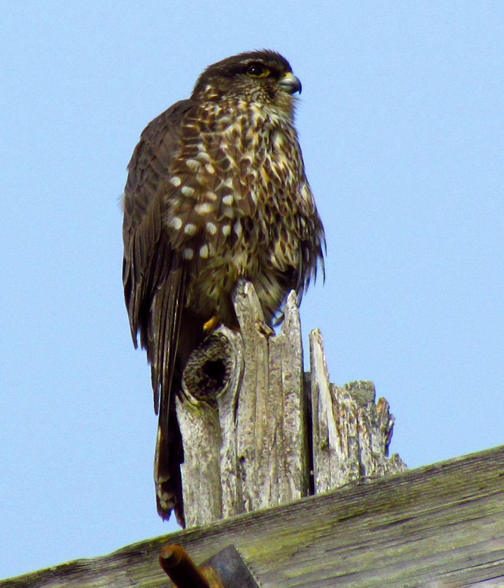 Image of juvenile merlin (Falco columbarius) provided courtesy of:  D. Gordon E.Robertson .  Note: This file is licensed under the  Creative Commons   Attribution-Share Alike 3.0 Unported  license.