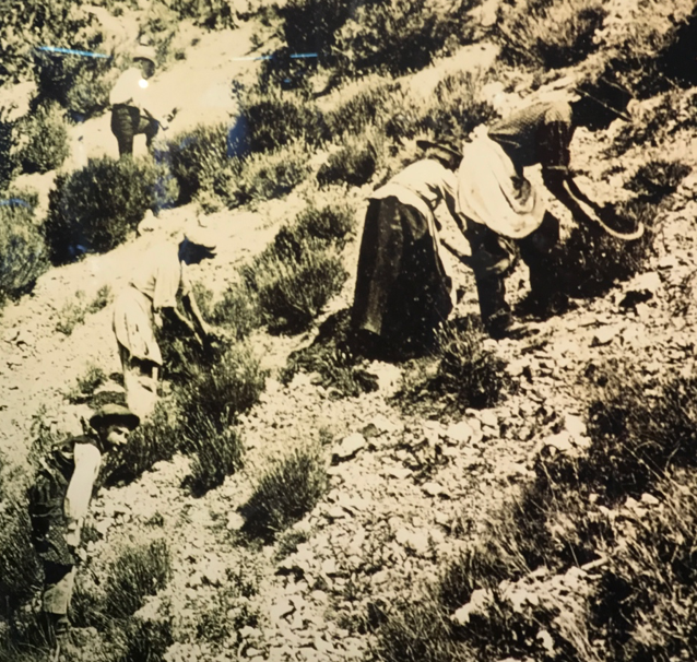Traditionally, lavender was gathered by women and children on the slopes of the mountains in Provence.