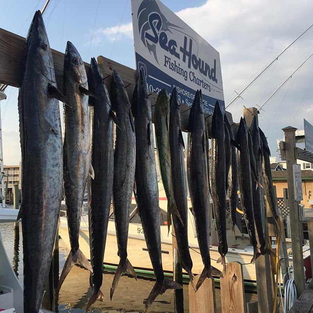Good fishing last couple of trips . Wahoo tuna dolphin cobia . Have some days open call and book a trip to get some meat . #seahoundfishing #bigwahoo #carolinabeach #seakeeper