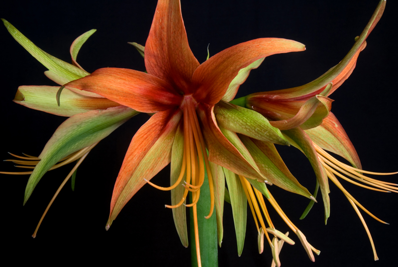 Amaryllis - Orange