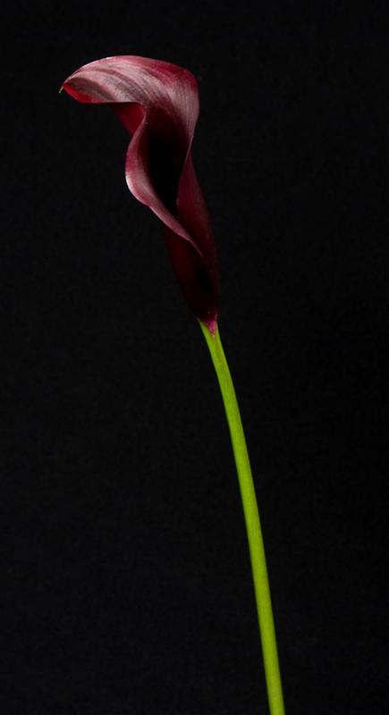 Calla Lily - Eggplant