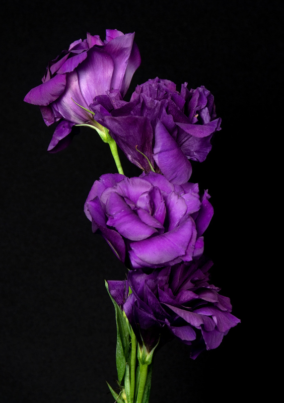 Lisianthus - Purple