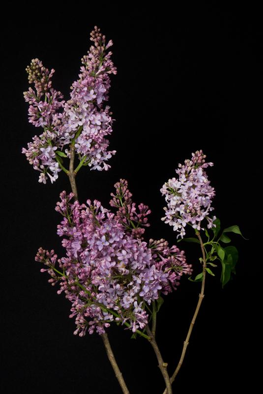 Lilac - Local