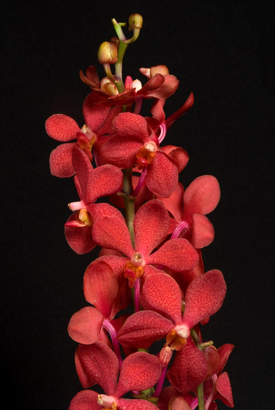 Mokara Orchid - Red
