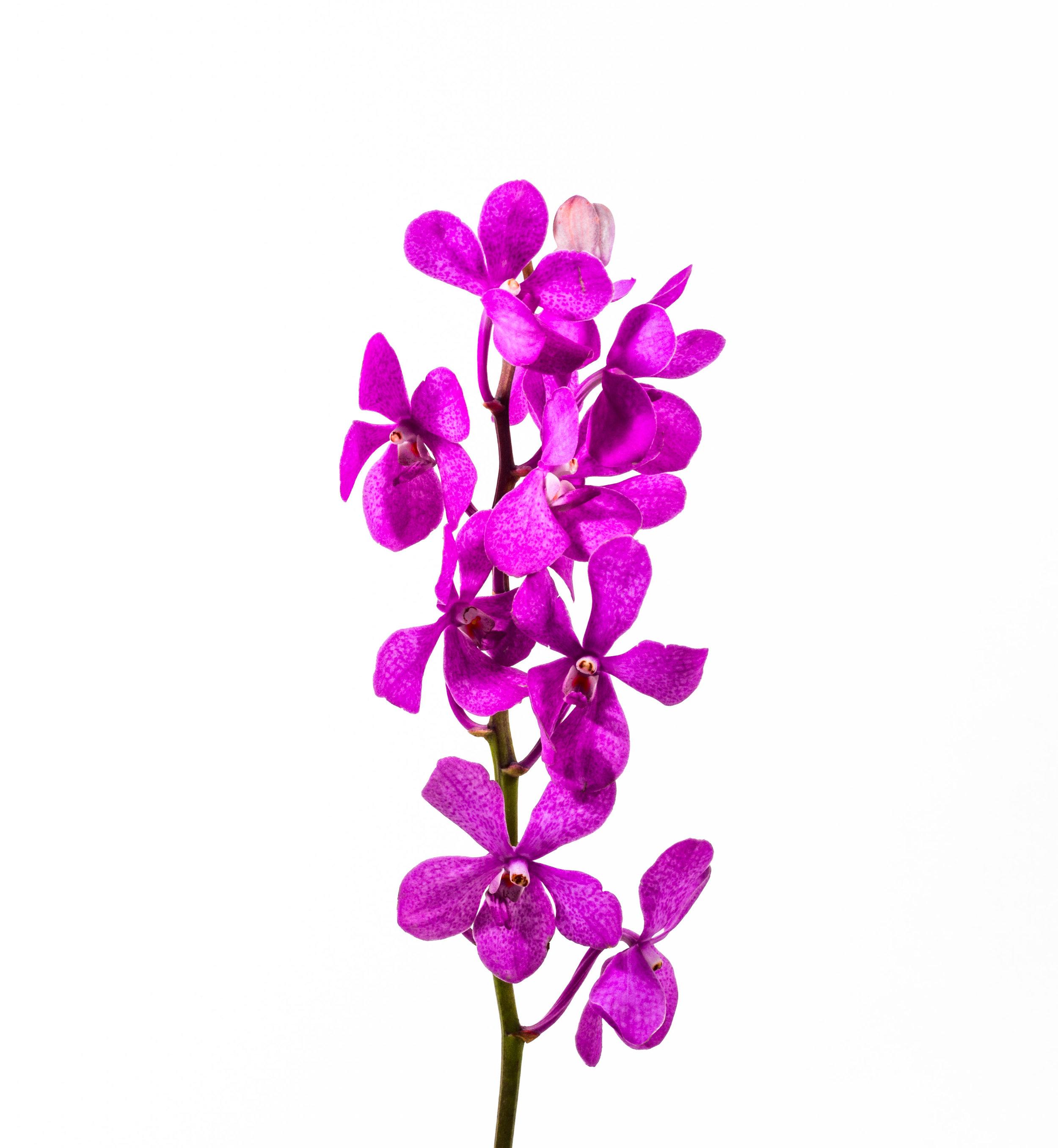 Mokara Orchid - Pink