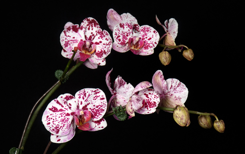 Phalaenopsis Orchid - Spotted