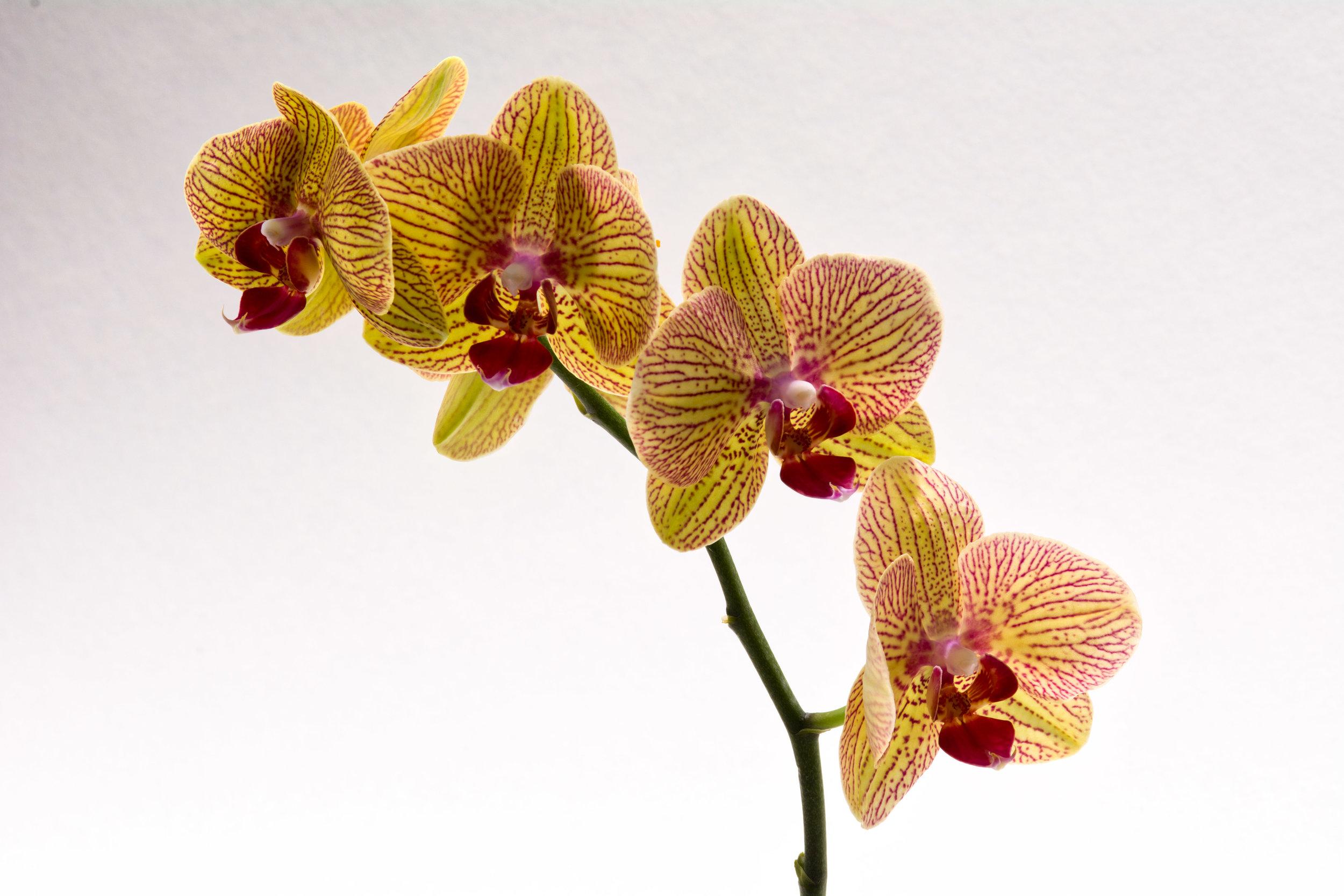 Phalaenopsis Orchid - Tiger