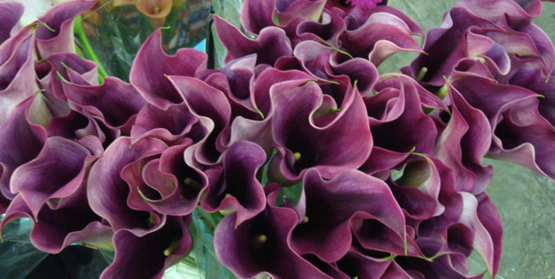 Mini Calla Lily - Plum