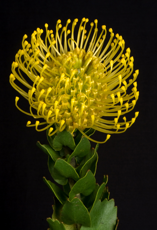 Pin Cushion Protea - Yellow