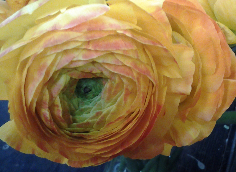 Ranunculus - Yellow