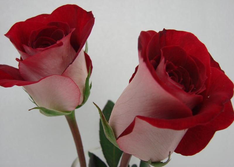 Rose - Luxor