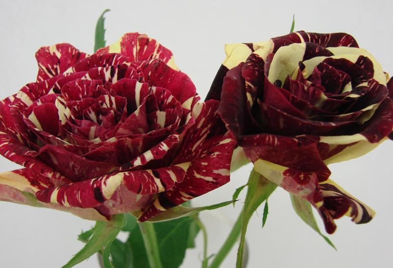 Rose - Bicolor 2