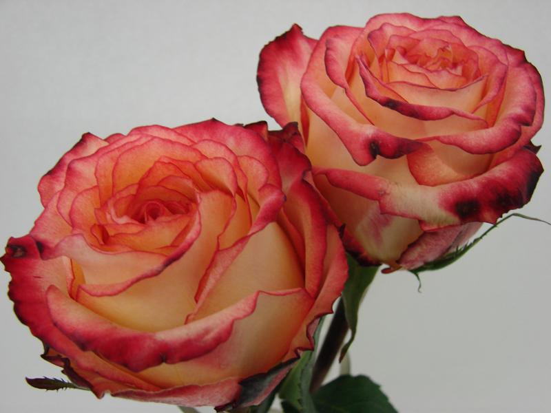 Rose - High Magic
