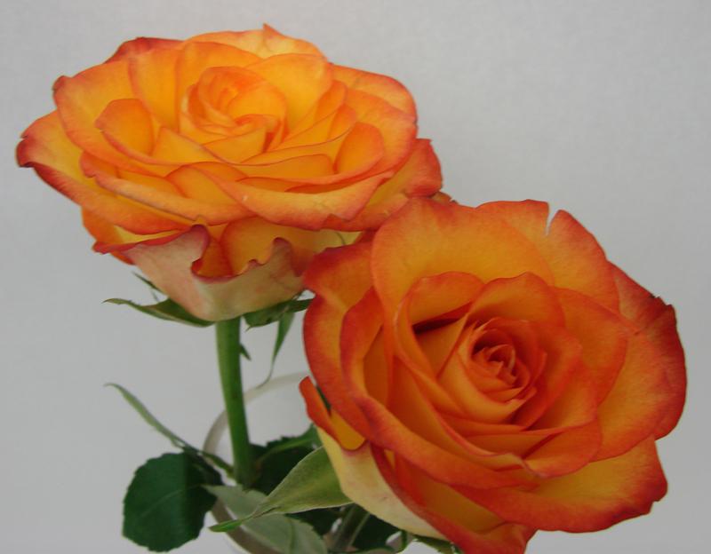 Rose - Circus