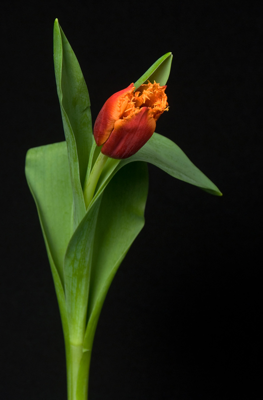 Fringed Tulip - Two-tone Orange
