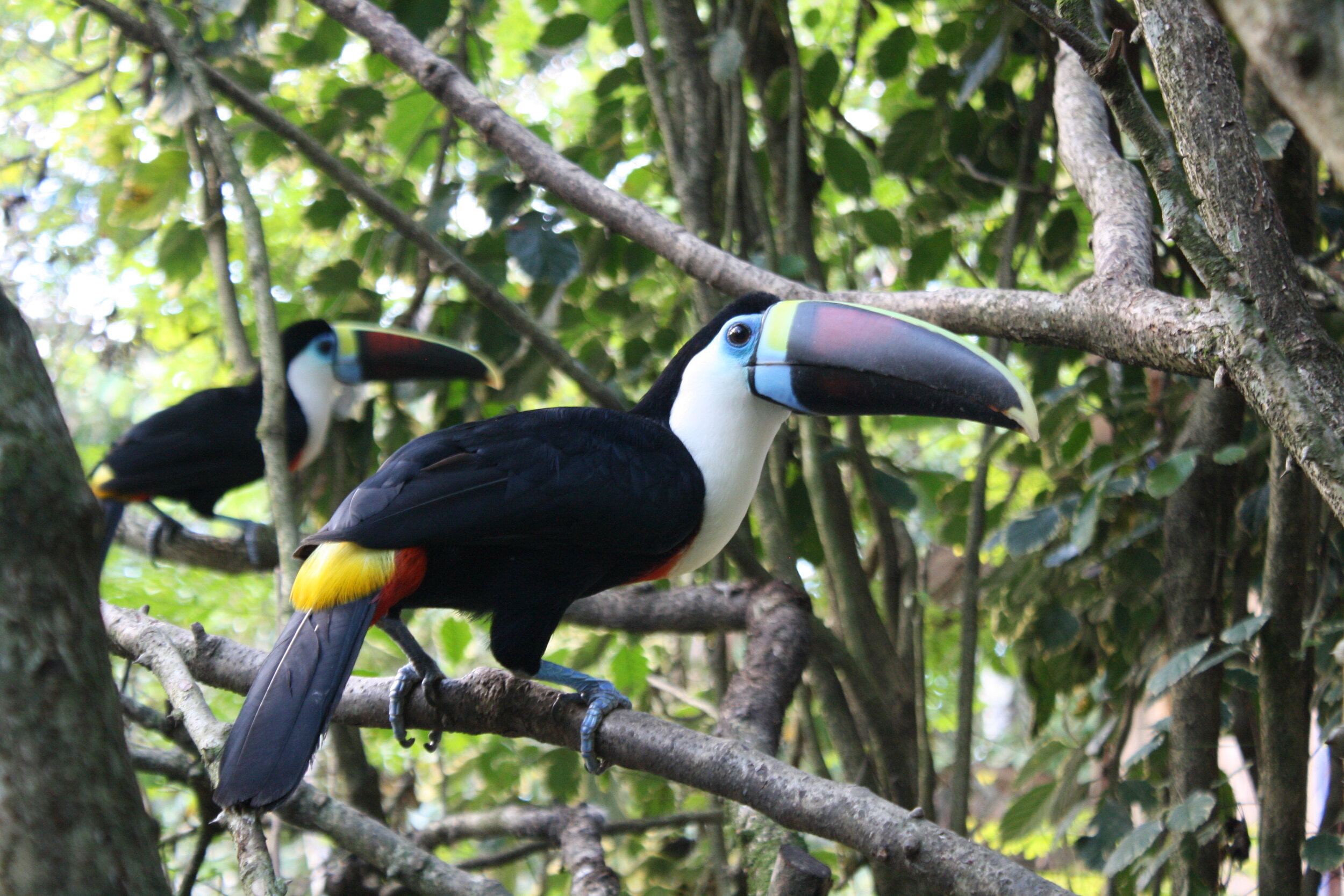 Toucans in the Amazon jungle