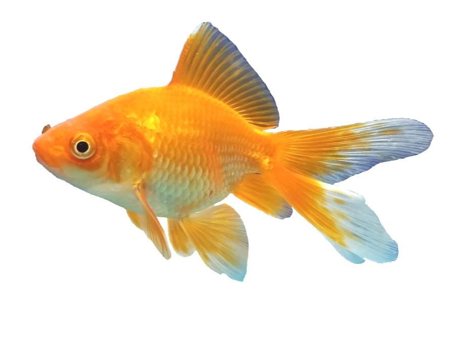 49-499298_goldfish-background-png-transparent-background-goldfish-png.jpg