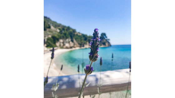 Lavender, a tried and true travel ally, growing on the Greek Island Alonnisos.