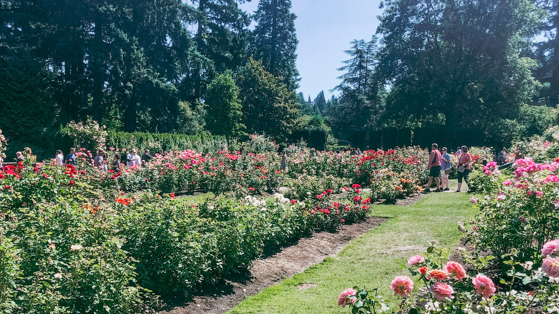 Portland's International Rose Test Garden at Washington Park.