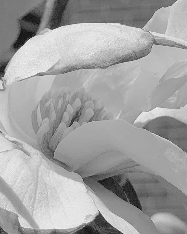 magnolia blooms 💛💛💛💛