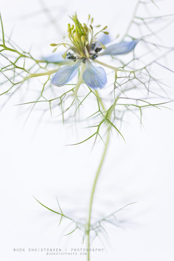 Nigella (love-in-a-mist) against a white background.