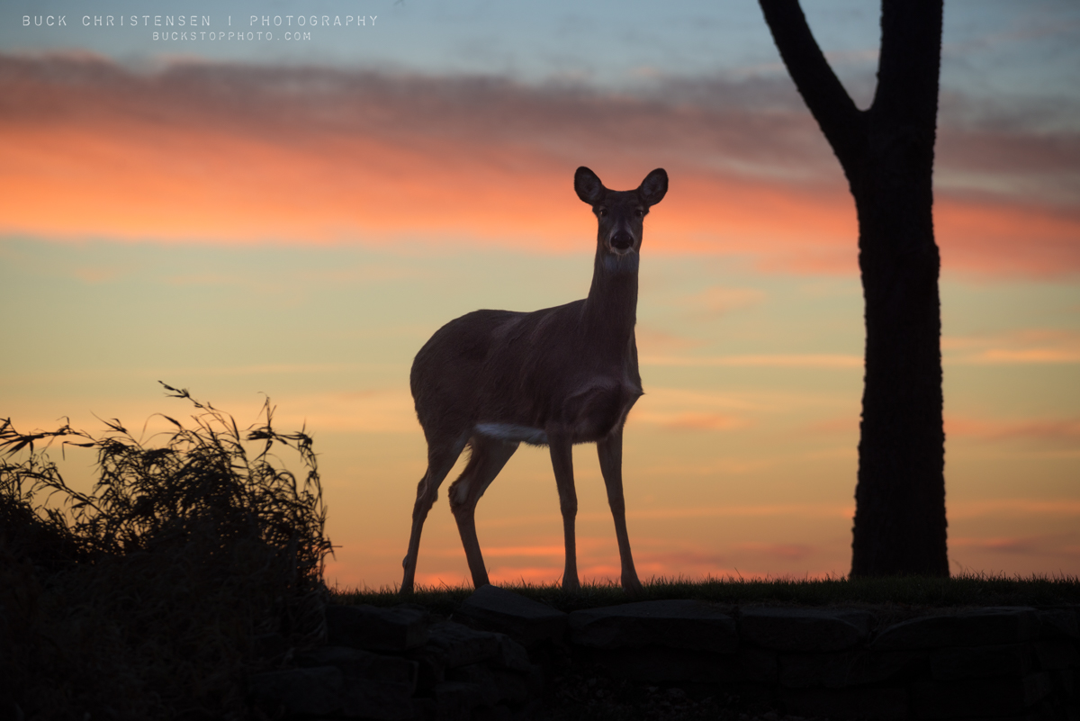 Deer and Sunset in Council Bluffs, Iowa: Flight Risk