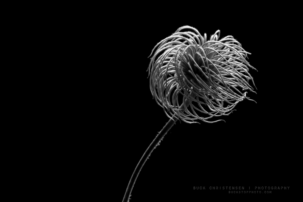 Black and white photograph of a clematis seed head.