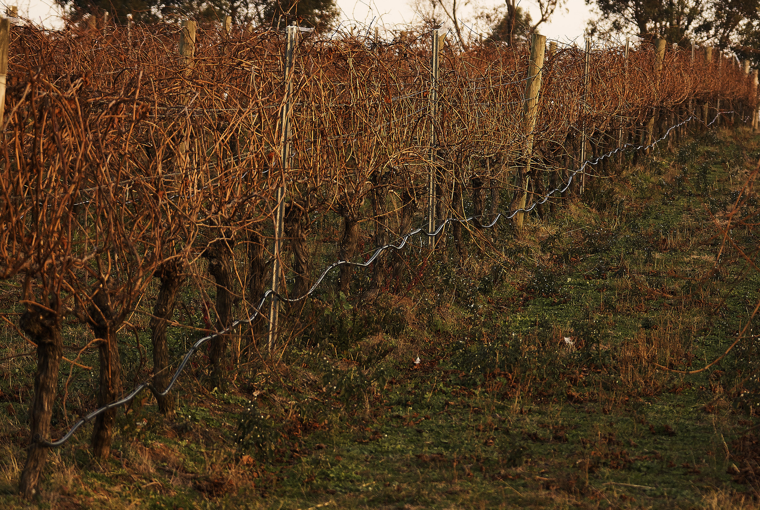 unpruned vines.jpg