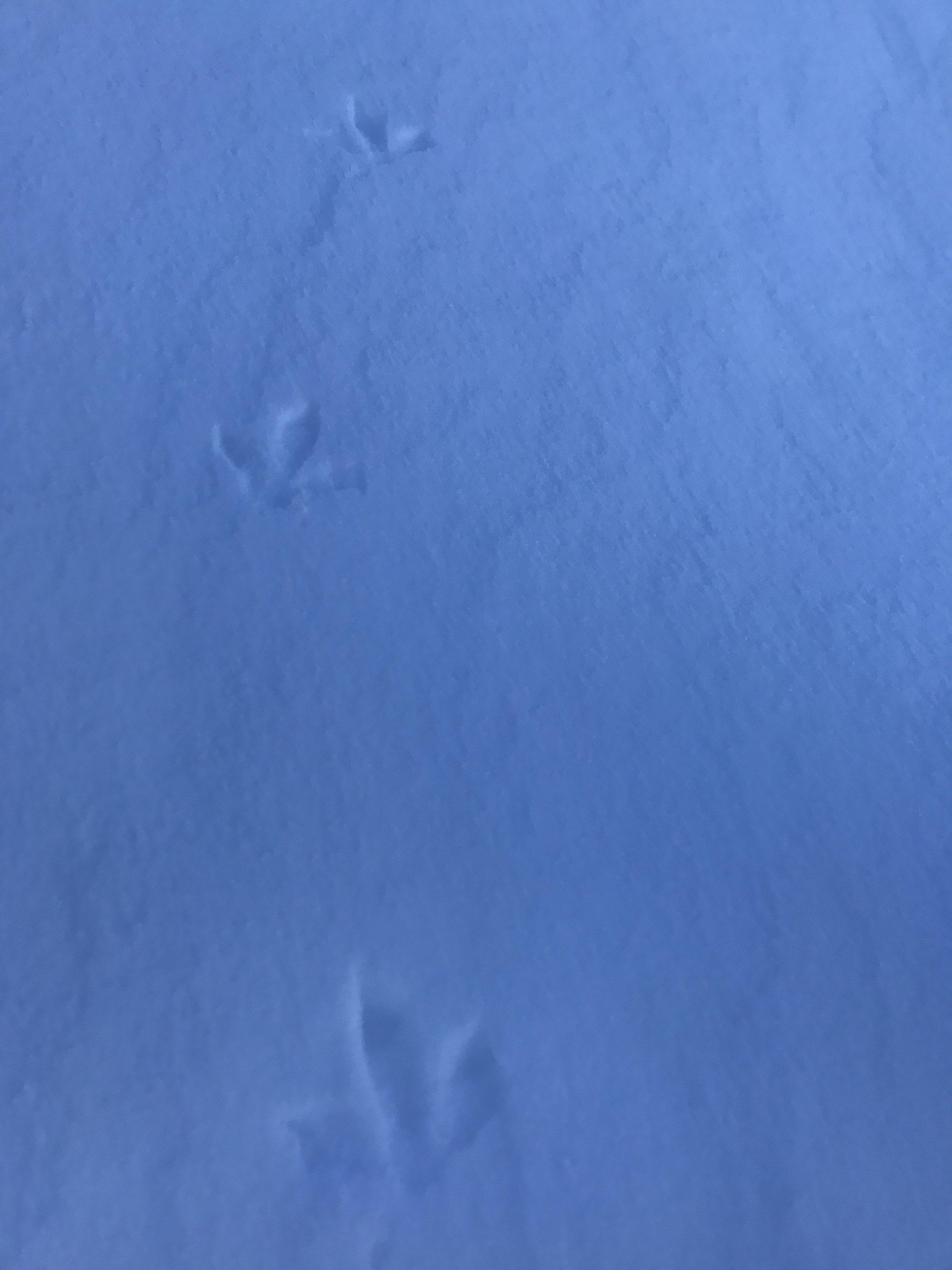 ptarmigan tracks at cameron pass colorado january 2017