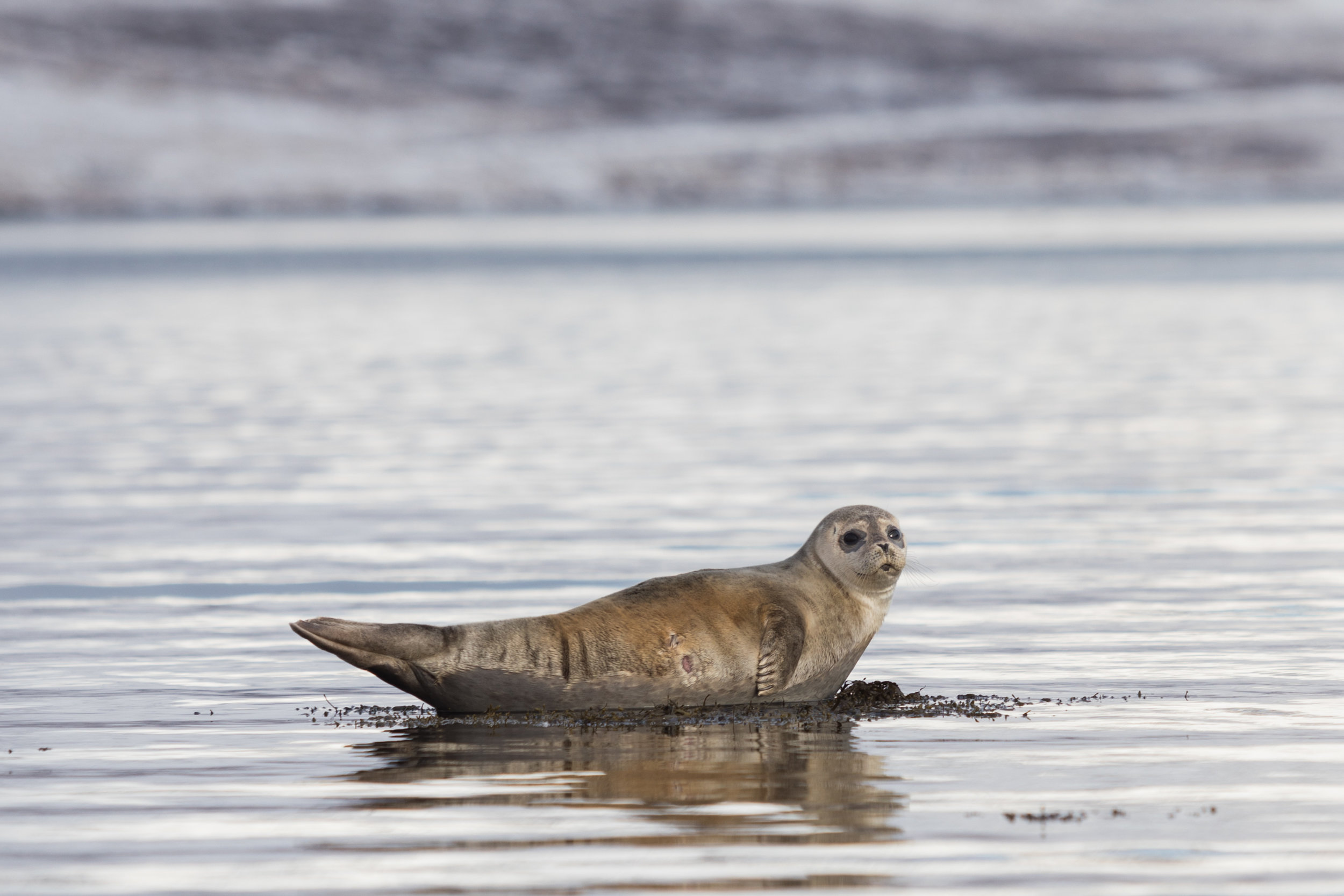 Seals near Ísafjördur