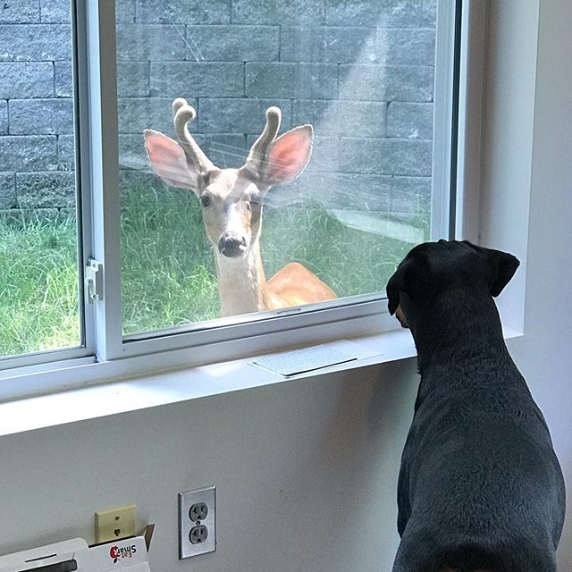 """Ok. First off all. This picture has nothing to do with my post. Except that I was in my office working....but I think my dog and the buck have a crush on each other. 😳😊 I've been off social for a bit. Regrouping mentally and physically.  Nothing is wrong. It's just there are times that we need to recharge our battery. Get back on track.  I've been questioning the direction that I've been working on to take my business. Why?! Because change can be scary.  What if no one likes what I'm doing?! Or saying?! Yes. I have those conversations with myself. I'm not always that 110% confident woman.  Taking a step back and getting GROUNDED!! Getting back to my roots. Back to the foundation of WHY I do what I do. That is what I need to do to feed my soul.  I teach, educate and motivate because I am so damn Passionate about my work. I love helping women after 40 to feel amazing!! To show and tell—just how incredibly awesome they can be without starvation, deprivation, or killing themselves at the gym.  We are constantly changing!! Cool right?! But when hot flashes hit or the scale goes up or you just feel OFF—-you wonder what the Hell is going on. Am I just getting older?! Yes. We get thrown some curve balls as we """"age"""". But it's not an excuse to throw in the towel.  It's time to do something different.  I'm going to be """"teasing"""" you this week with the new Virtual Vibrant Scoop.... I'm so damn excited to get this baby going....so stayed tuned. 💋💋💋💋Deb  #debmojo #debmojomethod #hormonespecialist #mindbodysoul #vibrantscoop #educate #teach #motivate #coach #pilates #artandscience #ybr #gyro #foodie #virtual"""