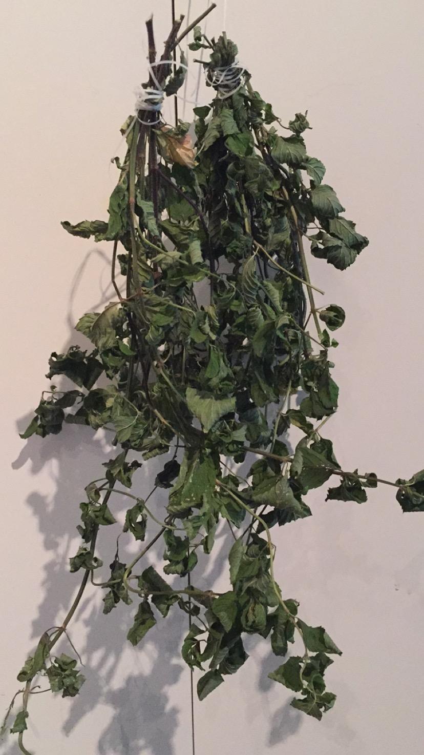 Drying Mint Leaves