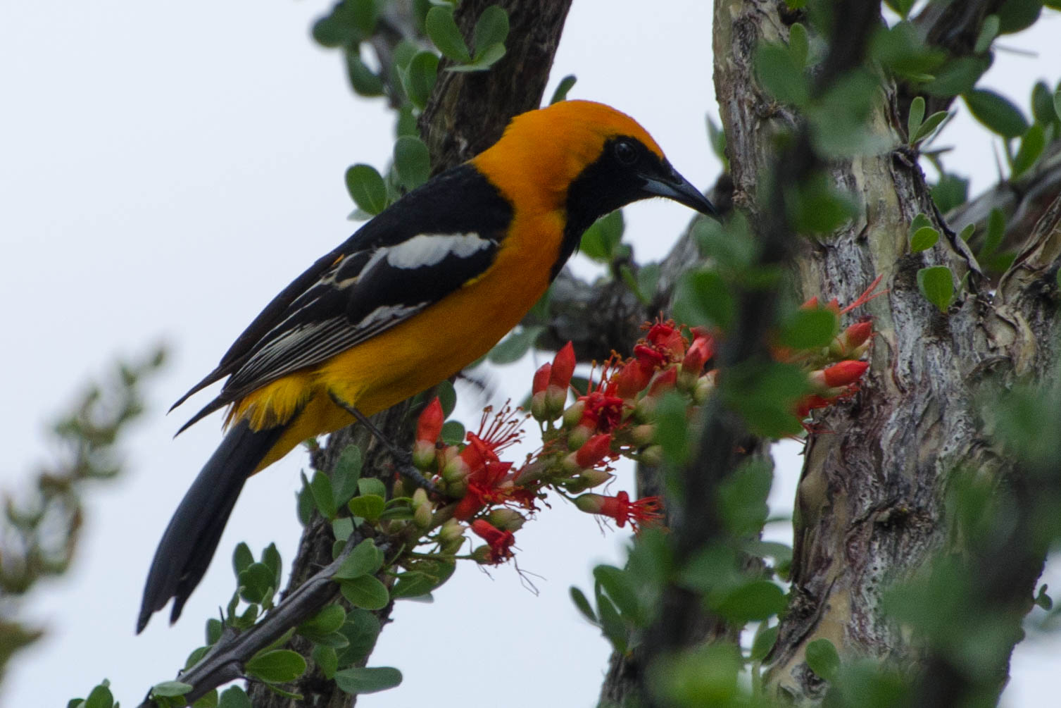 First time seeing an Altamira oriole.