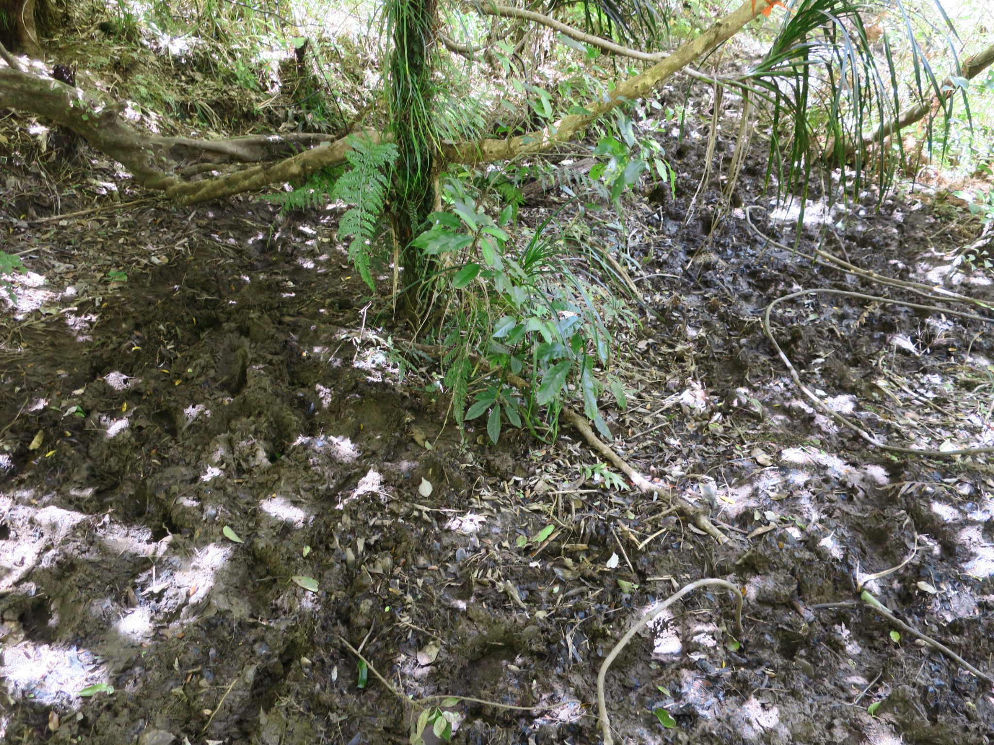 Dry rain forest floor, perhaps 50/50 dry/mud