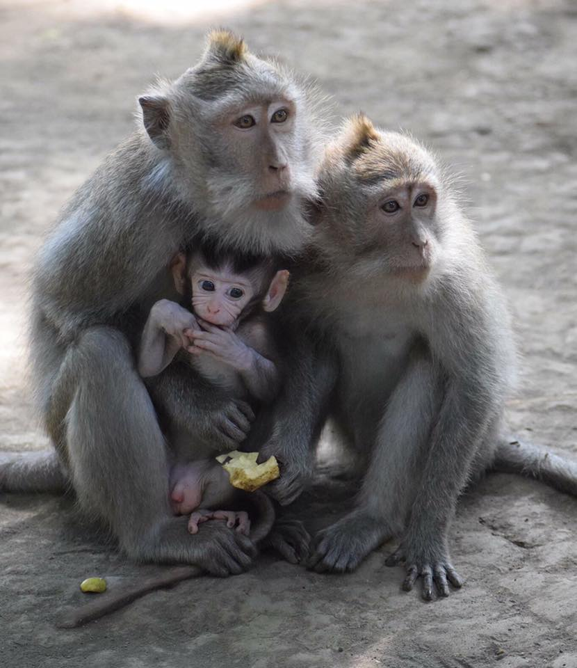 macaques.jpg