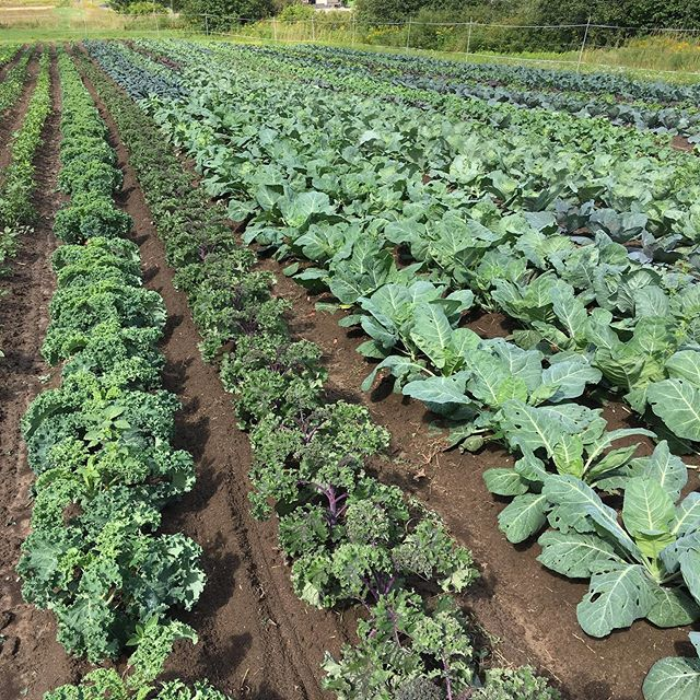 """Now I don't know too much about so-called rock and roll music, but I do know that when The Rolling Stones wrote """"(I cant get no) satisfaction"""", their fall brassicas must not have looked like this. #satisfaction"""