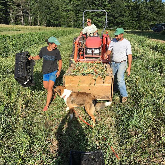 Clutch help from @cannonsatnoonfarm and @shortcreeknh getting our onion harvest rolling, private reserve snack melon, and a bonus post-credits musical scene. We proudly present: #sundayfunday
