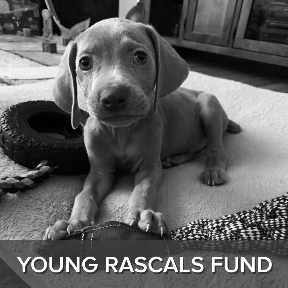 While the young rascally weims get adopted rather quickly, they also some of the most vet and training intensive goobers! Vet expenses include routine shots, spay/neuter and often surgeries for injuries and ingesting foreign items (hello, where are my socks?!)  To donate, click the Young Rascals Fund button below.