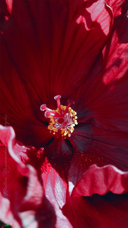 NEW Kristina Nazarevskaia Photography, Elizabeth Street Garden 2019 Hibiscus c.jpg