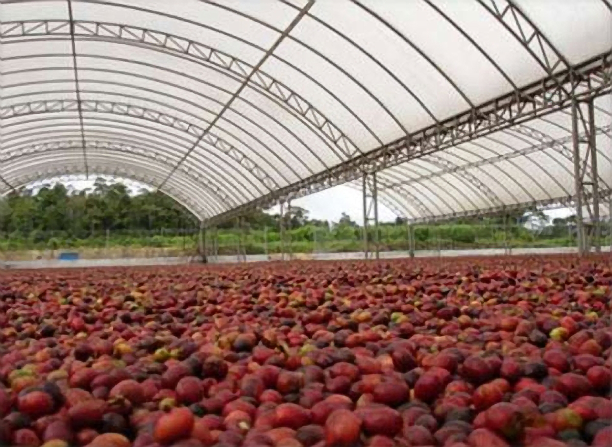 Dry process. Coffee cherries drying on a covered patio.