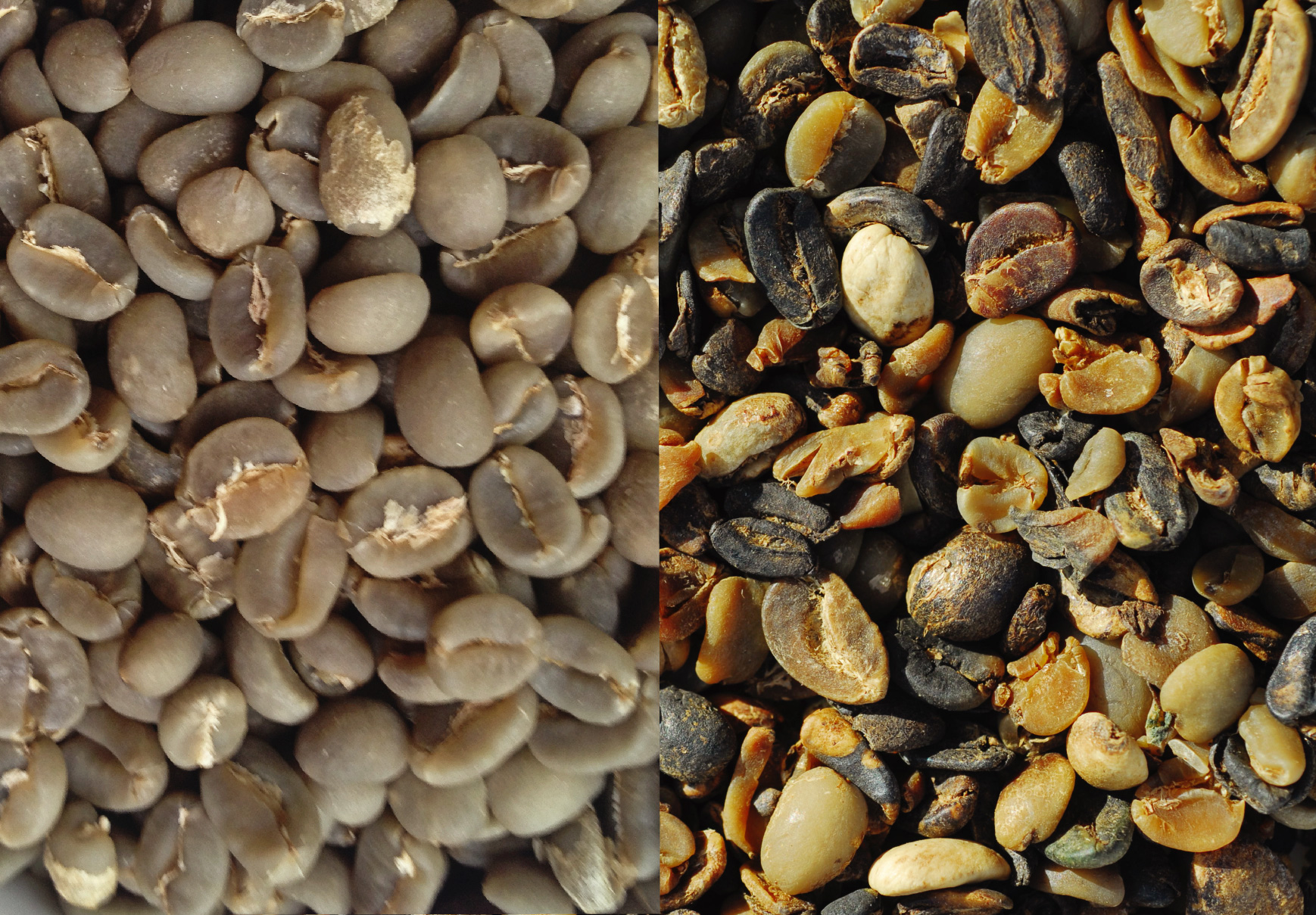 Figure 1.1. Both pictures are of the same bean. The left picture is the highest grade, which is sold as speciality coffee and the right picture is the worst grade of commodity coffee. All beans are 100% arabica.