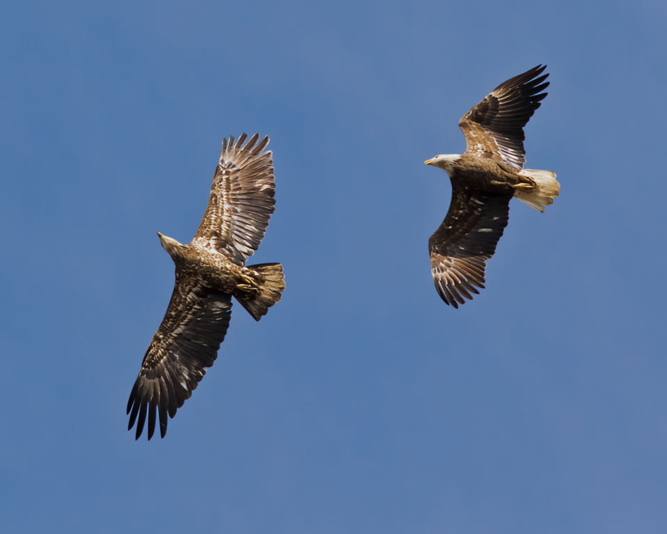 Ο αετός και το γεράκι (μύθος)