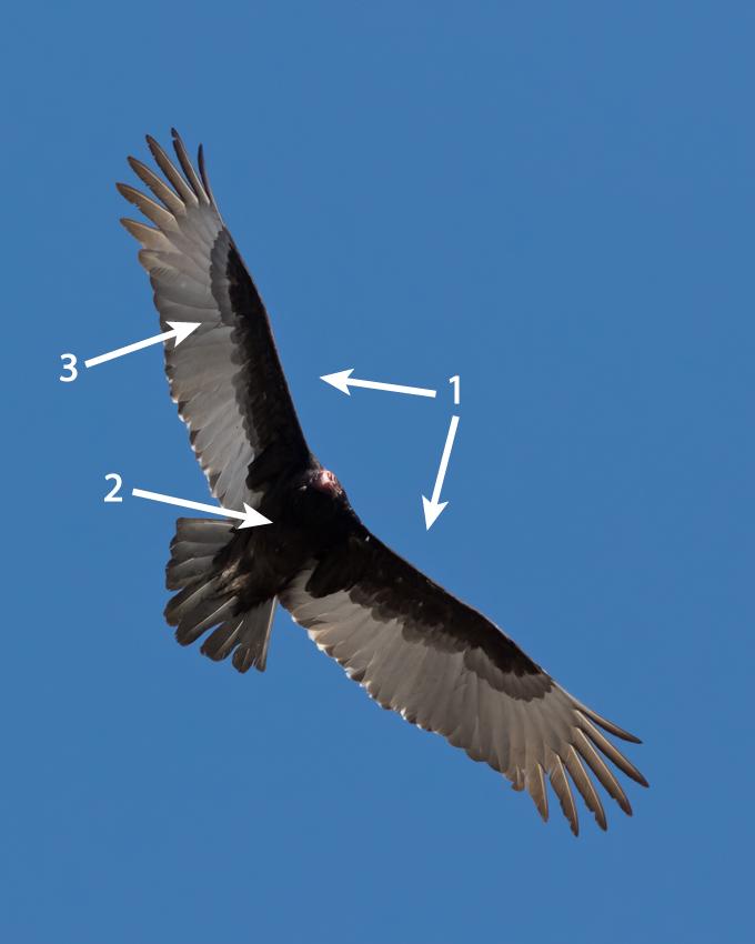 Turkey Vulture by Frode Jacobsen.