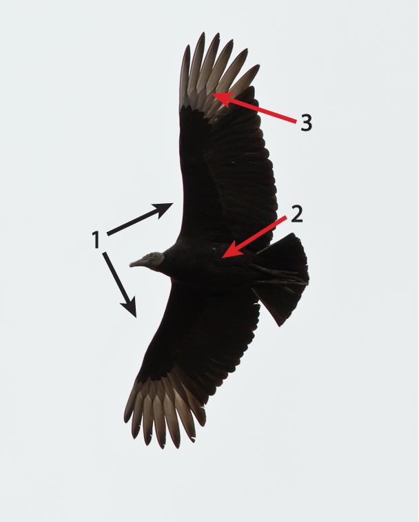Black Vulture by Frode Jabobsen
