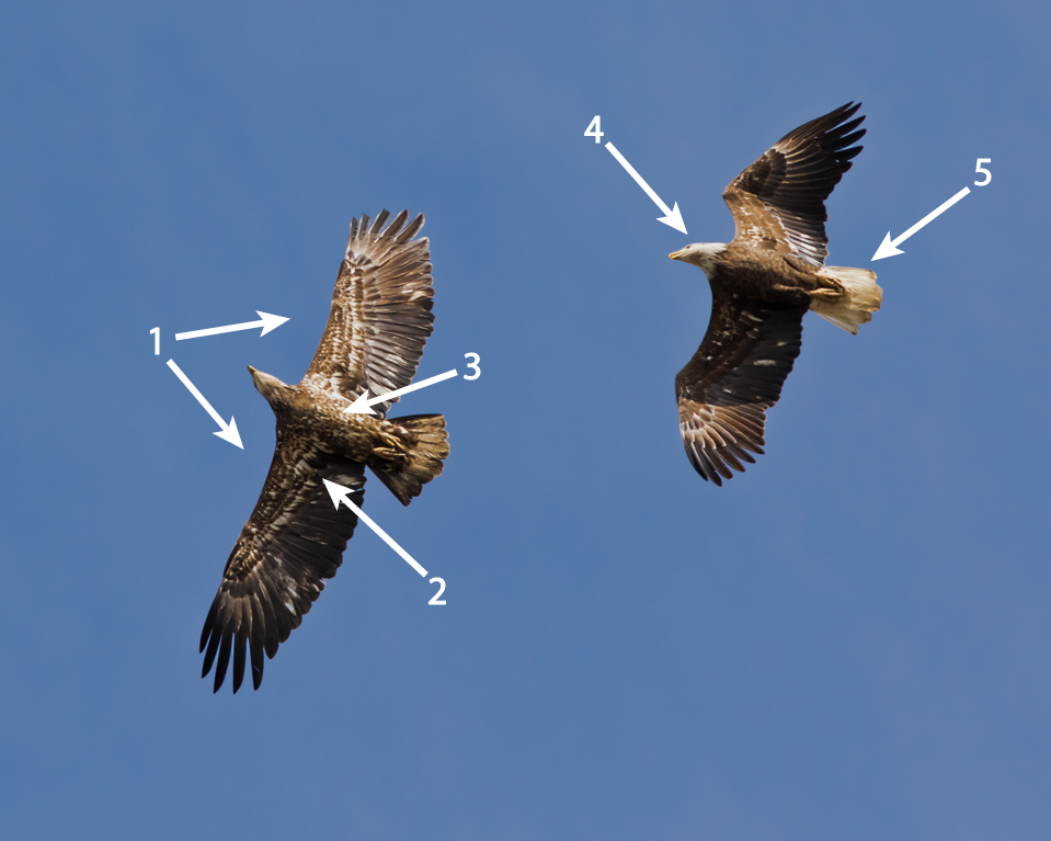 Bald Eagles, photo by Frode Jacobsen.    Two immature bald eagles, one on the left retains mostly juvenile plumage with some molting, the one of the right has a more advanced molt, with some immature plumage left over (note the white feathers) with the adult white head and feathers.