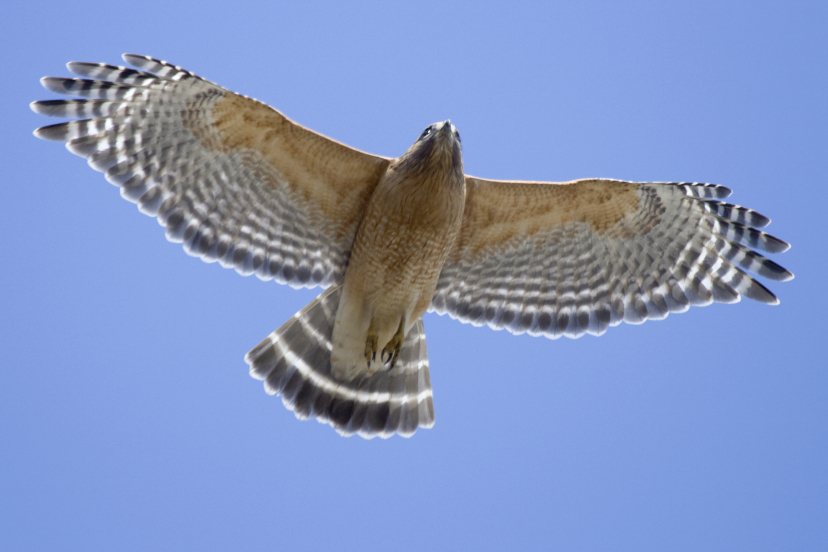Adult Red-Shouldered Hawk by Frode Jacobsen