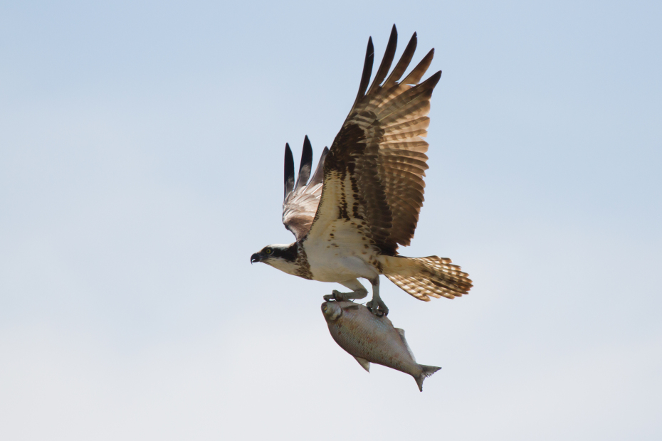 Osprey with a fish by Frode Jacobsen