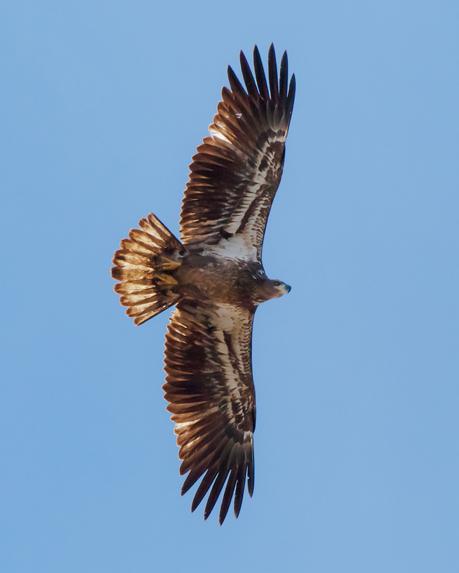 First-year bird. Note the dark belly, head and beak.