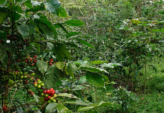 Shade-grown coffee in Peru by Marshall Hedin